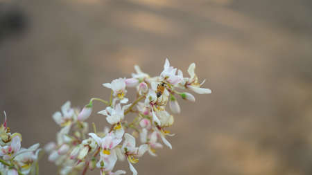 Aroma white flowers of Moringa or Drumstick tree with Honey bees. Honey bee gathering pollen from the flowers.