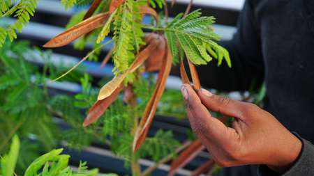 Human hand using herb beans of Siris or Albizia for farmaceutical industry. It is also called Lenkoran acacia or bastard tamarind.