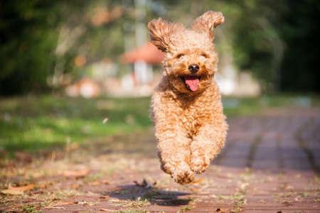 perro corriendo: Un perro poodle sonrisa corre feliz en el parque Foto de archivo