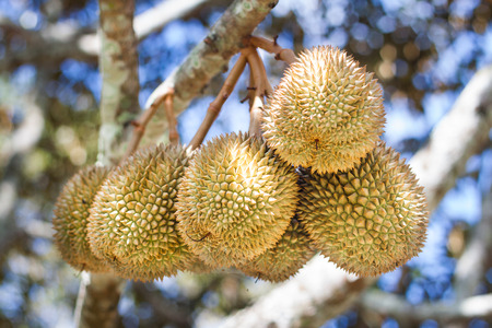 Bunch of durian on a tree against blue sky