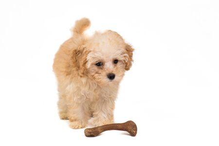 Studio shot of a poodle puppy with her bone photo