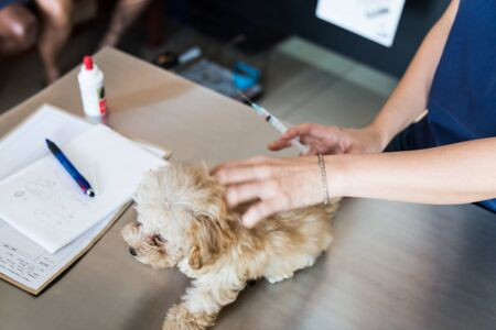administered: An injection containing vaccine being administered onto a puppy by a Vet.
