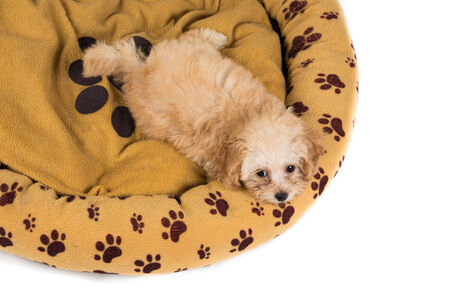 Cute and curious poodle puppy resting on her bed photo