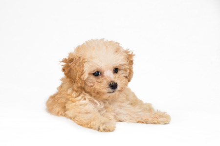 Studio shot of a poodle puppy resting on the floor photo