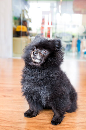 matured: Portrait of a matured black Pomeranian Stock Photo