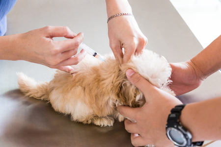 rabies: Puppy being vaccinated by a Vet