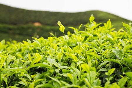 tea plantations: Tea plantation with focus on the tea leafs shoots at the foreground Stock Photo
