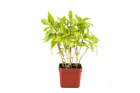 Potted Basil plant in isolated white background photo