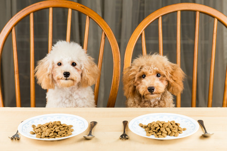 Two bored and uninterested Poodle puppies with two plates of kibbles on the table