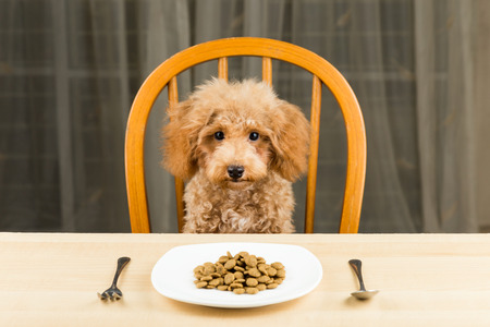 A bored and uninterested Poodle puppy with a plate of kibbles on the table