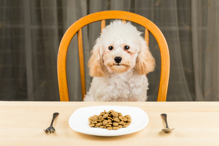 uninterested: A bored and uninterested Poodle puppy with a plate of kibbles on the table