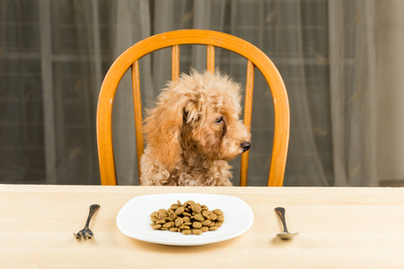 uninterested: A bored and uninterested Poodle puppy looking away from her plate of kibbles on the dining table