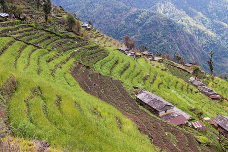 terraced: Terraced plantation on hill slopes in Nepal