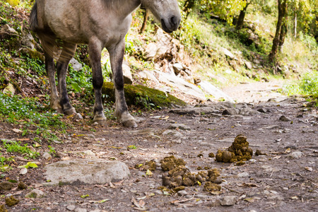 Animal feces is abundant along the hiking trek in Annapurna Nepal