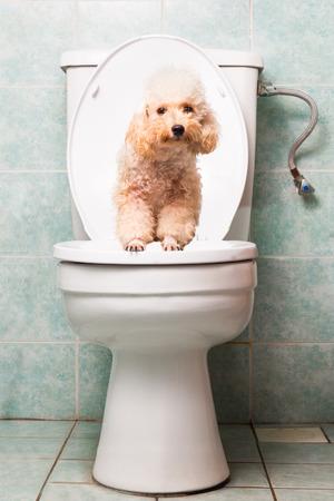 Smart beige poodle dog pooping into toilet bowl Stock fotó