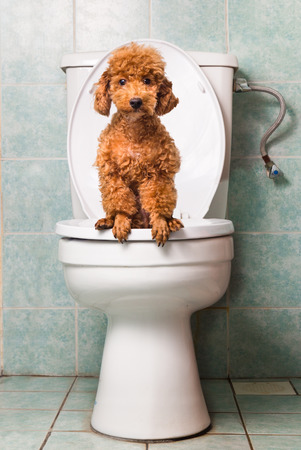 Smart brown poodle dog pooping into toilet bowl