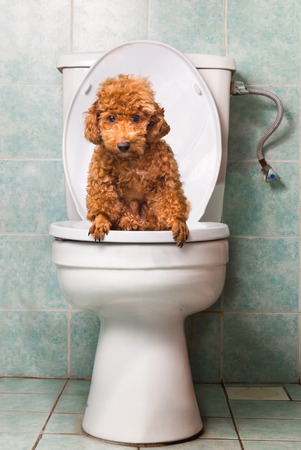 pooping: Smart brown poodle dog pooping into toilet bowl