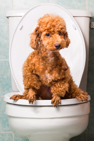 toilet bowl: Smart brown poodle dog pooping into toilet bowl