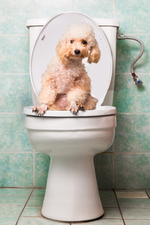 poo: Smart beige poodle dog pooping into toilet bowl Stock Photo