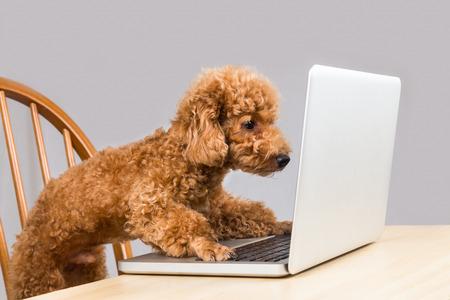 rozkošný: Inteligentní psaní hnědá pudl pes a četl přenosný počítač na stole