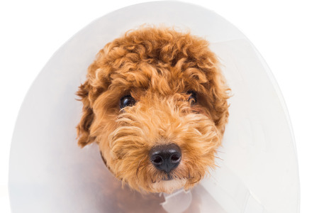 white poodle: Sad poodle dog wearing protective cone collar on her neck Stock Photo