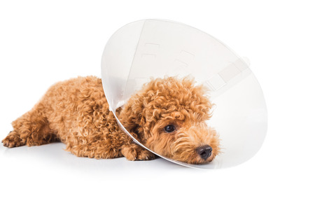 Sad poodle dog wearing protective cone collar on her neck 写真素材