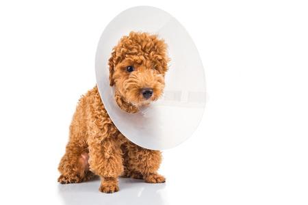 plastico pet: Perro poodle triste llevaba collar cono de protección en el cuello Foto de archivo