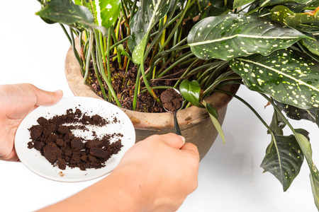 Placing spent coffee grounds onto plant as natural fertilizer