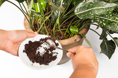 coffee grounds: Adding spent coffee grounds onto plants as natural fertilizer Stock Photo