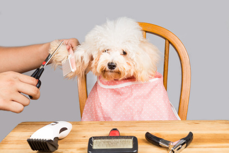 purebred dog: Concept of poodle dog fur being cut and groomed in salon