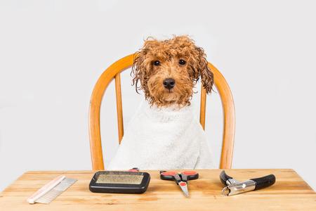mojar: Concepto de perro caniche mojado sentado después de la ducha listo para ser preparado en el salón