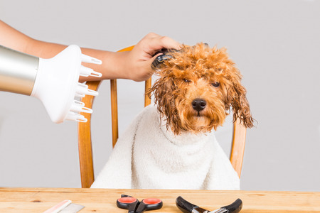 pet grooming: Concept of wet poodle dog fur being blown dry and groom after shower at salon Stock Photo