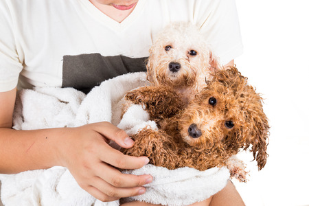 bath gown: Wet poodle puppies wrapped in towel after shower