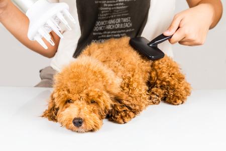 salon de belleza: Wet pieles de perro caniche siendo soplado seco y el novio después de la ducha