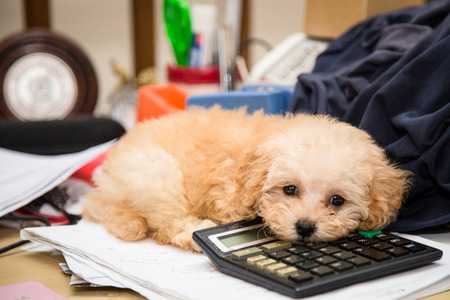 Cute poodle puppy dog resting on a calculator placed on a messy office desk