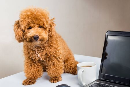 tiny: Cute poodle puppy sitting on office desk with laptop computer