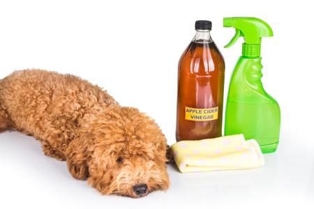 personal de limpieza: Vinagre de manzana efectivo como repelente natural de la pulga y el limpiador de uso múltiple para los animales domésticos Foto de archivo