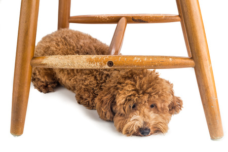 dog bite: Wooden chair badly damaged by naughty dog chew and bites
