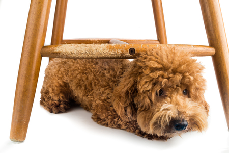 chewed: Wooden chair badly damaged by naughty dog chew and bites