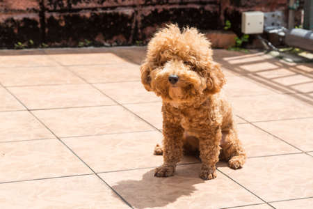 relieve: Poodle dog enjoying her relaxing sun bathing at home possibly as therapy to relieve skin itch Stock Photo