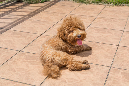 sun bathing: Poodle dog enjoying her relaxing sun bathing at home possibly as therapy to relieve skin itch Stock Photo