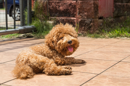 possibly: Poodle dog enjoying her relaxing sun bathing at home possibly as therapy to relieve skin itch Stock Photo