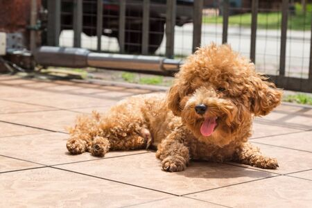 itch: Poodle dog enjoying her relaxing sun bathing at home possibly as therapy to relieve skin itch Stock Photo