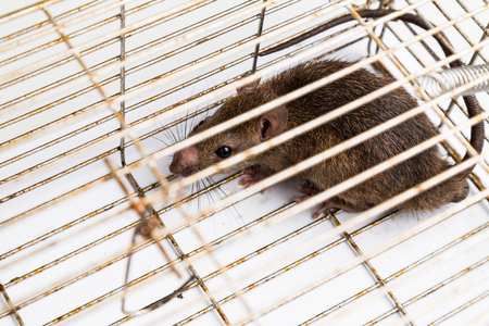 lockup: Top angle shot of  anxious rat trapped and caught in metal cage Stock Photo
