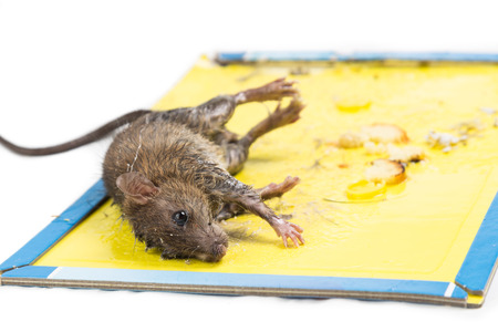rat: Dirty rat captured on convenient and effective disposable non-toxic glue trap board with bait isolated in white