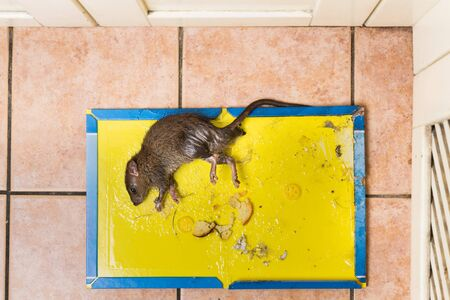 nontoxic: Overhead shot of dirty rat captured on effective and convenient disposable non-toxic glue trap board with bait set on kitchen floor