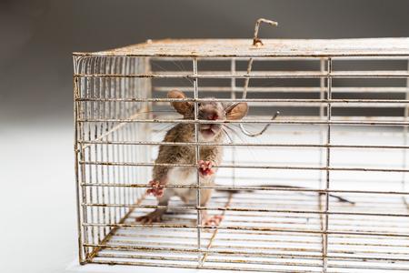 rata: Primer plano de la rata ansiosa atrapado y atrapado en la jaula de metal Foto de archivo