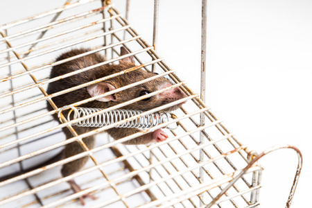 lockup: Close up of anxious rat trapped and caught in metal cage
