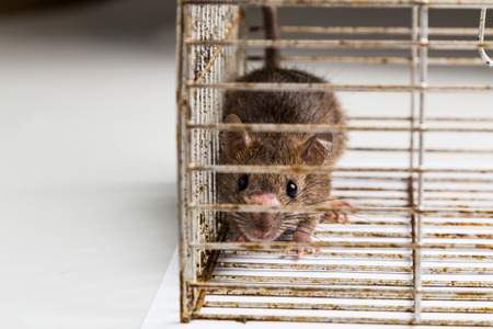 nose close up: Close up of anxious rat trapped and caught in metal cage