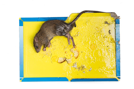 nontoxic: Overhead shot of dirty rat captured on convenient and effective disposable non-toxic glue trap board with bait isolated in white